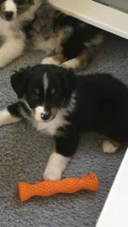 Miniature Australian Shepherd PUPPY FOR SALE ADN-89594 - MASCA Registered Mini Aussie