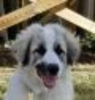 Roy Great Pyrenees - Anatolian Shepherd Dog