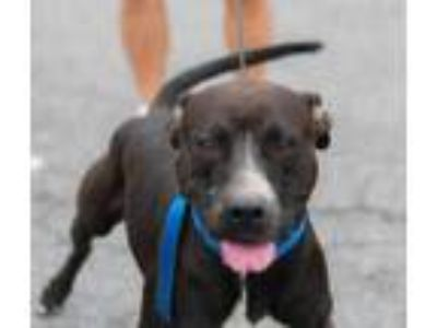 Adopt Bill a Black American Pit Bull Terrier / Mixed dog in Cumberland