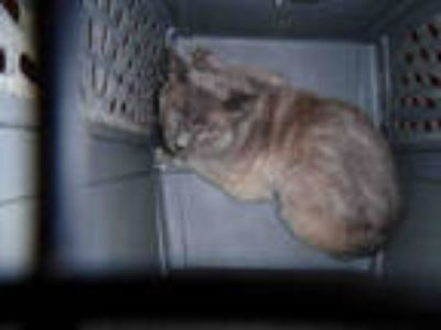 Adopt A628228*LOU a Gray or Blue Domestic Shorthair / Mixed (short coat) cat in