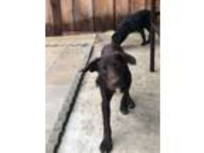 Adopt Tanner a Labrador Retriever, Border Collie