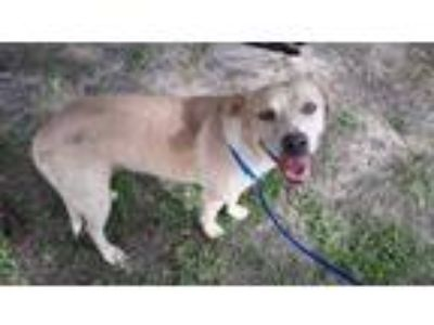 Adopt a Tan/Yellow/Fawn - with White Labrador Retriever / Mixed dog in Houston