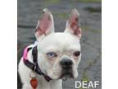 Adopt Hildey (deaf) a Boston Terrier, Mixed Breed