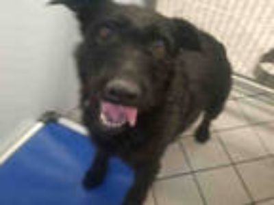 Adopt ATHENA a Black Airedale Terrier / Mixed dog in Canfield, OH (24072129)