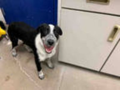 Adopt PEPPER a Black - with White Border Collie / Mixed dog in Brighton
