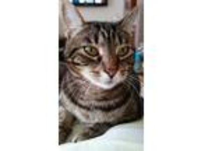 Adopt Prima a Brown Tabby Domestic Shorthair (short coat) cat in Santa Ana