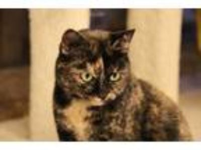 Adopt Dilly a Domestic Short Hair