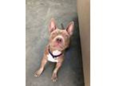 Adopt Fuzzy Nelson a Pit Bull Terrier