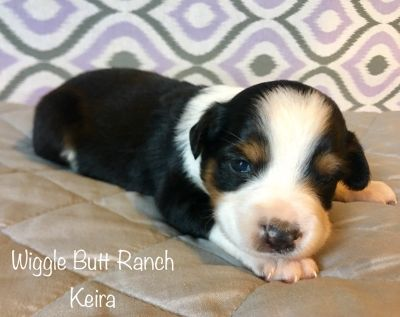 Miniature Australian Shepherd PUPPY FOR SALE ADN-90091 - ASDR small mini Aussie puppies