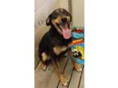 Adopt Holly a Doberman Pinscher, Shepherd