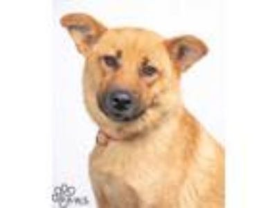 Adopt Noodles a Tan/Yellow/Fawn Shepherd (Unknown Type) / Chow Chow / Mixed dog