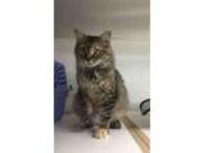 Adopt Cleo a Maine Coon, Domestic Long Hair