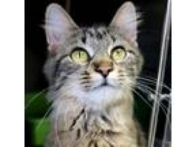 Adopt Halle Purry - Reduced Fee! a Brown Tabby Domestic Mediumhair / Mixed