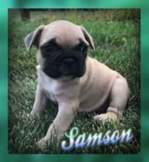 Samson: Male AKC French Bulldog