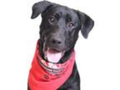 Adopt Jaxson a Black Labrador Retriever / Mixed dog in Chico, CA (25530472)