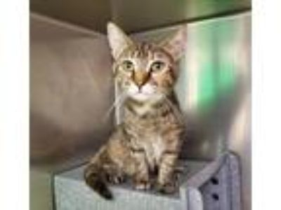 Adopt Caramel Apple a Domestic Shorthair / Mixed cat in Charlottesville