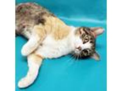 Adopt Pie a Domestic Short Hair