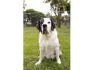 Adopt Patches a St. Bernard / Mixed Breed (Medium) / Mixed dog in Fort Myers