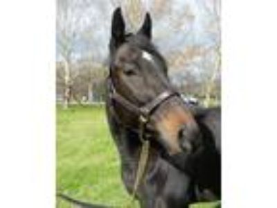 Adopt Lil O's Expression a Bay Thoroughbred / Mixed horse in Farmington