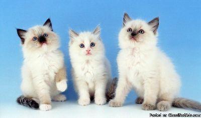 Gccf Registered Ragdoll Kittens For Good Homes