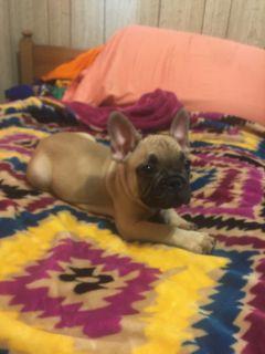 French Bulldog PUPPY FOR SALE ADN-89210 - Rihana