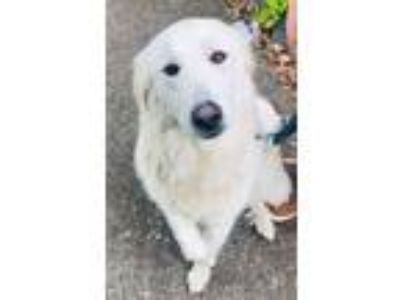Adopt Prudence a Great Pyrenees