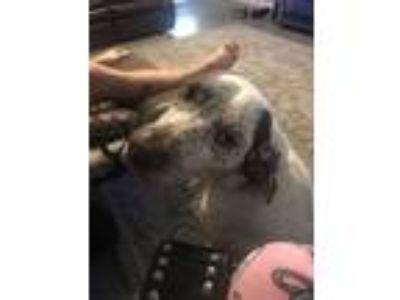 Adopt Pink a White Pointer / Labrador Retriever dog in Mount Washington
