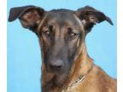Adopt Lizette von Lieser a Tan/Yellow/Fawn - with Black Belgian Malinois / Mixed