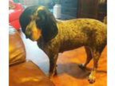 Adopt Ellie Grace a Bluetick Coonhound