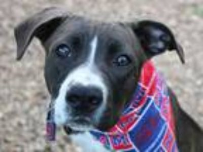 Adopt Pork Chop a Brown/Chocolate - with White Pit Bull Terrier / Mixed dog in