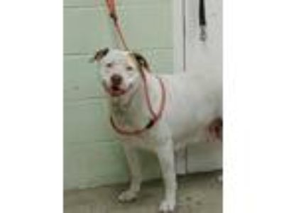 Adopt Calypso a White American Pit Bull Terrier / Mixed dog in Hutchinson