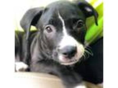 Adopt Stormy a Black - with White Labrador Retriever / American Pit Bull Terrier