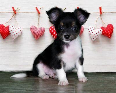 Gus Gus is a sweet Male Chihuahua!