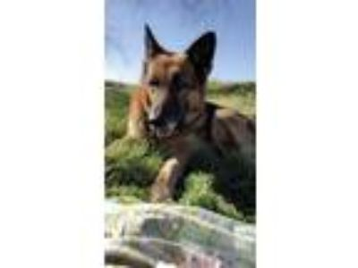 Adopt smokey a Black - with Tan, Yellow or Fawn German Shepherd Dog / Mixed dog