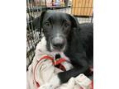 Adopt Ivan a Black Labrador Retriever / Terrier (Unknown Type