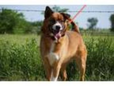 Adopt Zeke a Red/Golden/Orange/Chestnut Shepherd (Unknown Type) / Mixed dog in