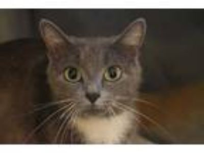 Adopt SMOKEY a Gray or Blue (Mostly) Domestic Shorthair / Mixed (short coat) cat