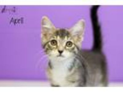 Adopt April a Domestic Short Hair
