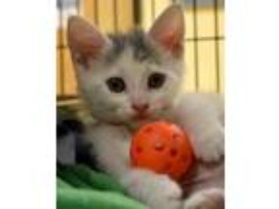Adopt Chrissy a Gray or Blue Manx / Domestic Shorthair / Mixed (short coat) cat