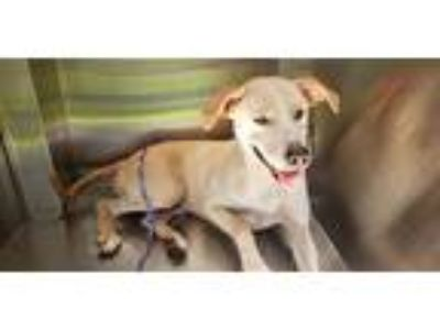 Adopt MARY KATE a Tan/Yellow/Fawn - with White Labrador Retriever / Mixed dog in