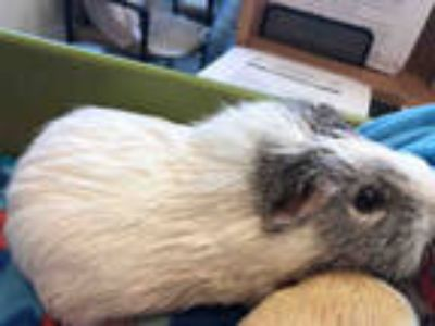 Adopt a White Guinea Pig / Mixed small animal in Upper Marlboro, MD (25779955)