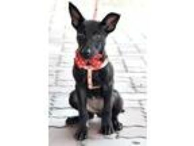 Adopt Sindy a Black Basenji / Shepherd (Unknown Type) / Mixed dog in Encino