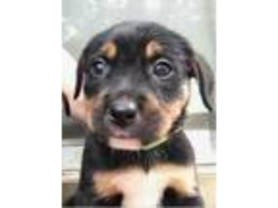 Adopt Sea Wings a Black Rottweiler / Mixed dog in Mission, KS (25564863)