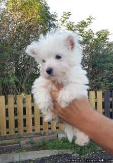 Brave West Highland terrier Puppies