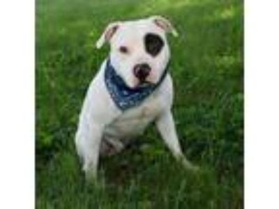 Adopt Patch a White - with Black Pit Bull Terrier / Mixed dog in Troy