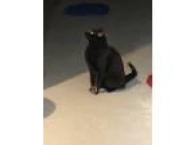 Adopt Jo-Jo a All Black Domestic Mediumhair cat in Blue Point, NY (25539931)