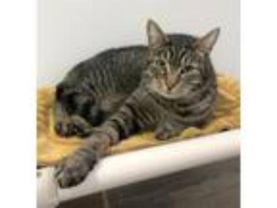 Adopt EVAN - Young and Friendly male a Brown Tabby Domestic Shorthair / Mixed