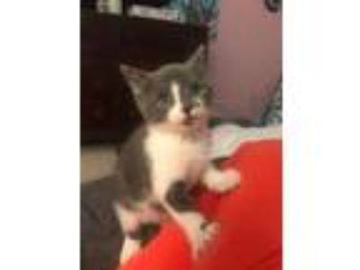 Adopt Shine KITTEN a Domestic Short Hair