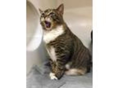 Adopt OYSTER a Brown or Chocolate (Mostly) Domestic Shorthair / Mixed (short