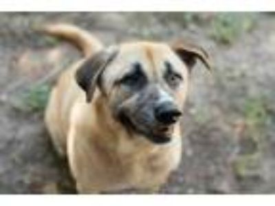 Adopt Alfred a Labrador Retriever, German Shepherd Dog